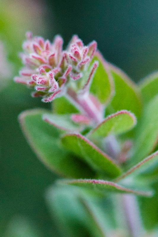 Arctostaphylos spp.