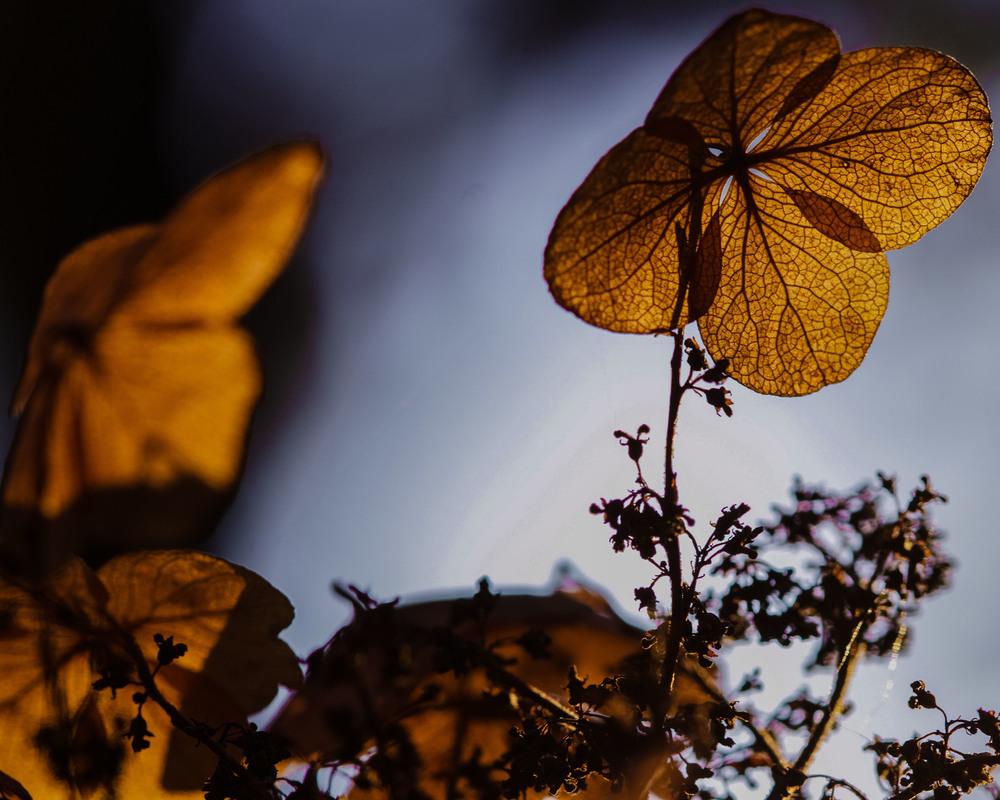 Alice Oakleaf Hydrangea blooms, Hydrangea quercifolia 'Alice'
