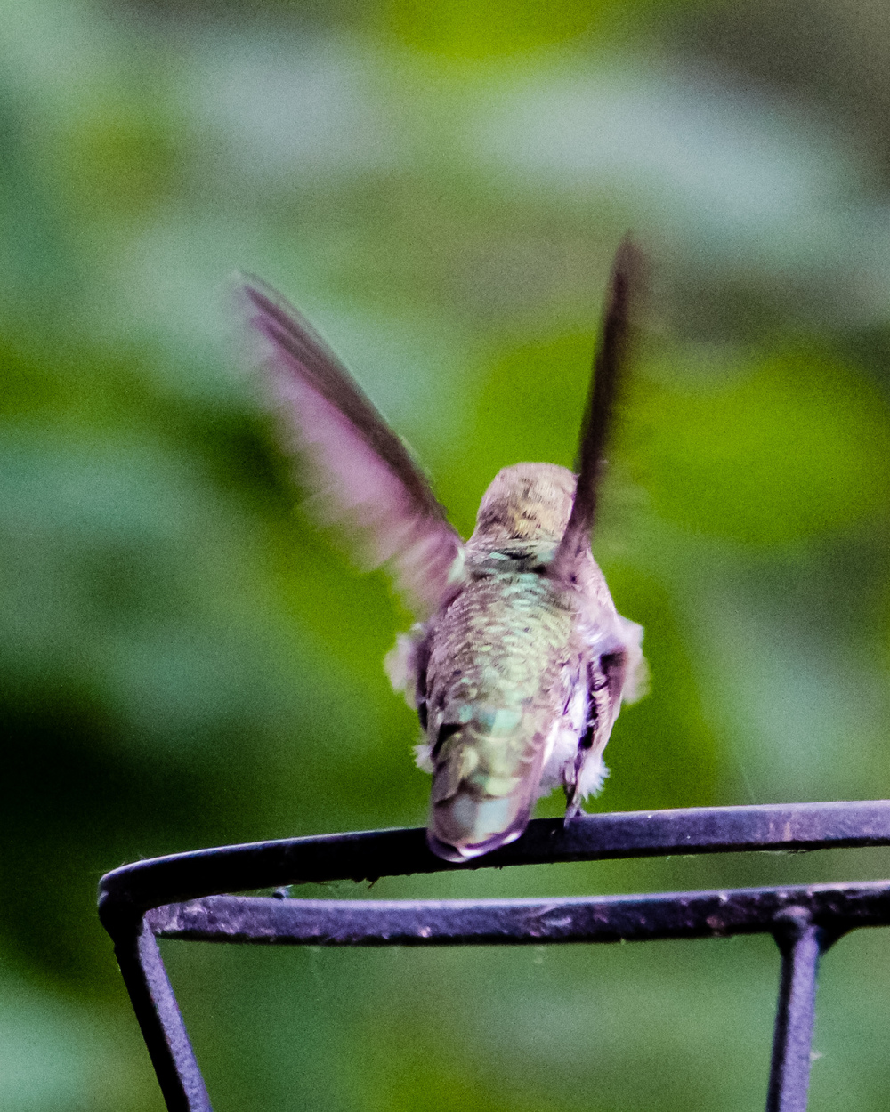 A female Anna's hummingbird taking flight off of a torch holder.