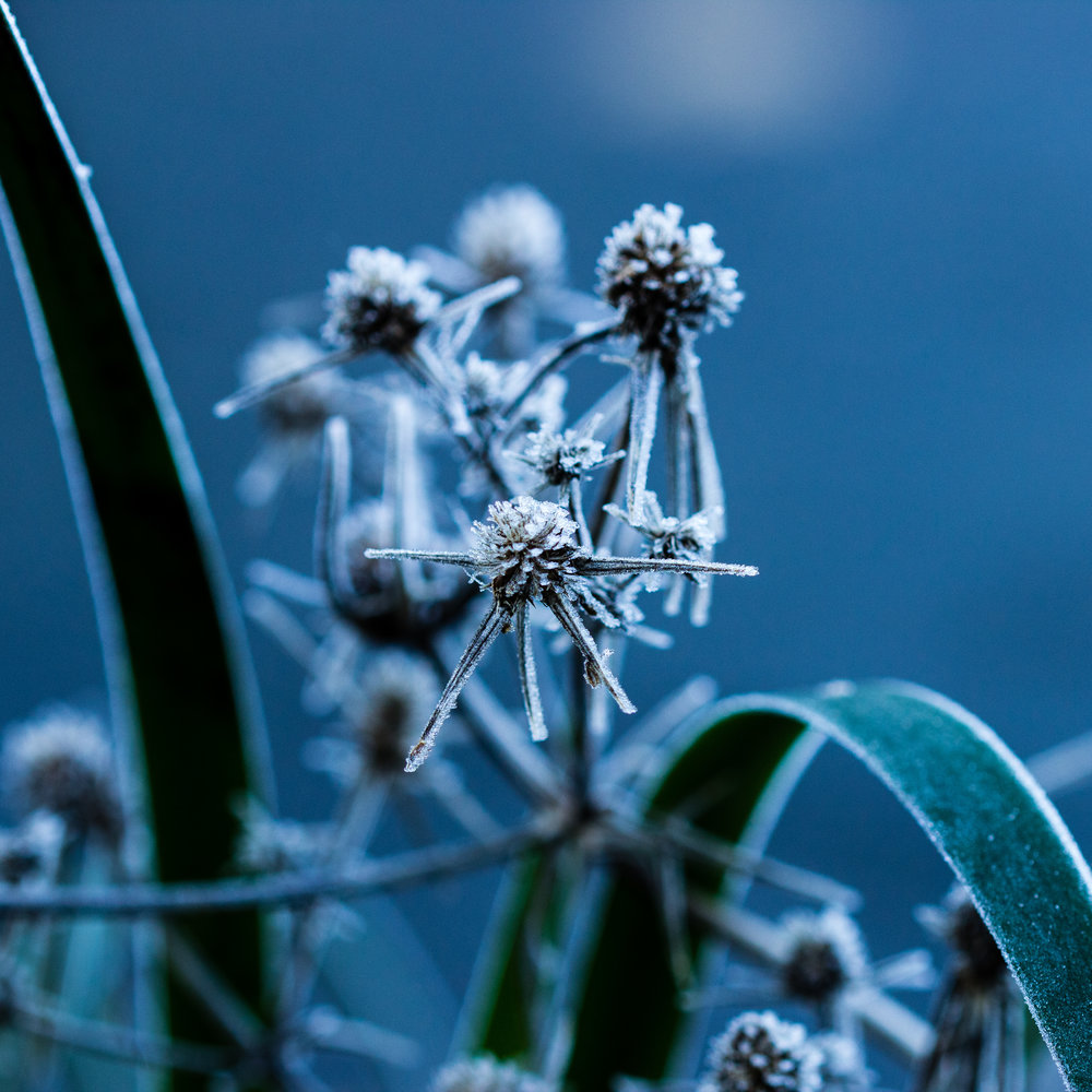 Moroccan Sea Holly, Eryngium variifolium, seed heads and Anigozanthos flavidus covered in frost