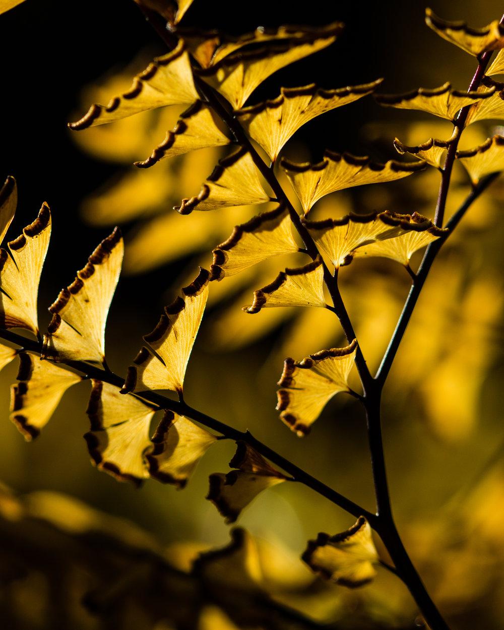 maidenhairfernbacklit.jpg