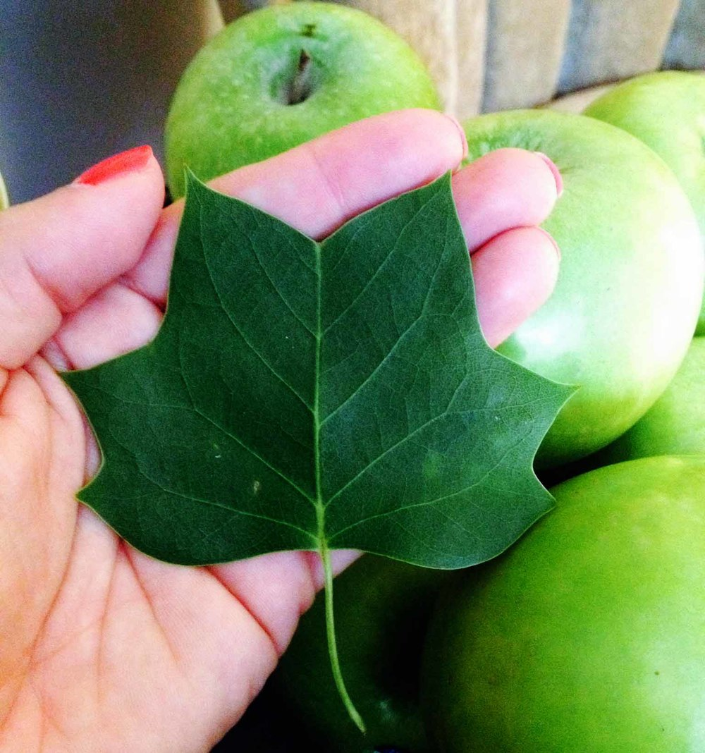 poplar leaf and apples.JPG