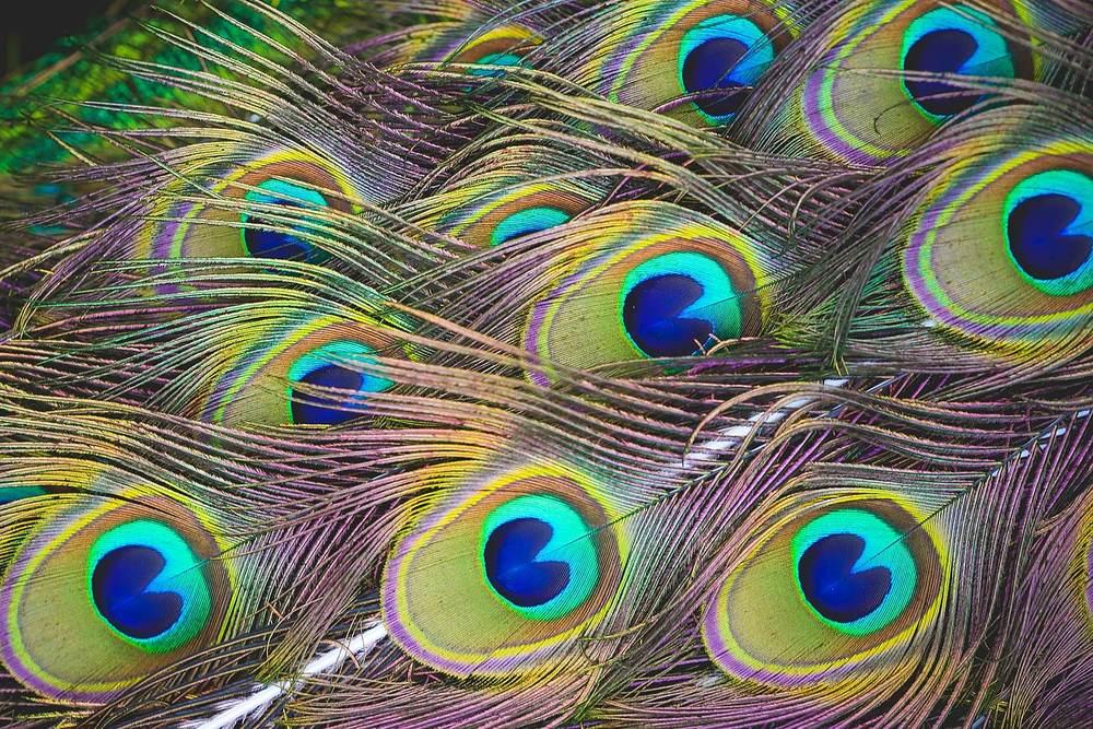 peacock feathers.jpg