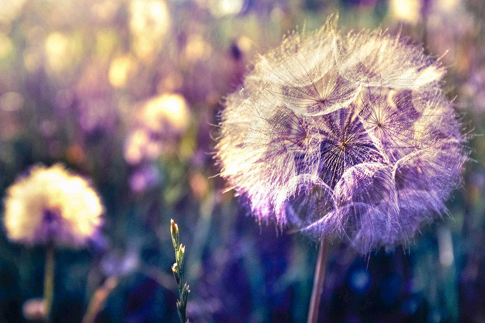 Dandilion_Original_2759.jpg