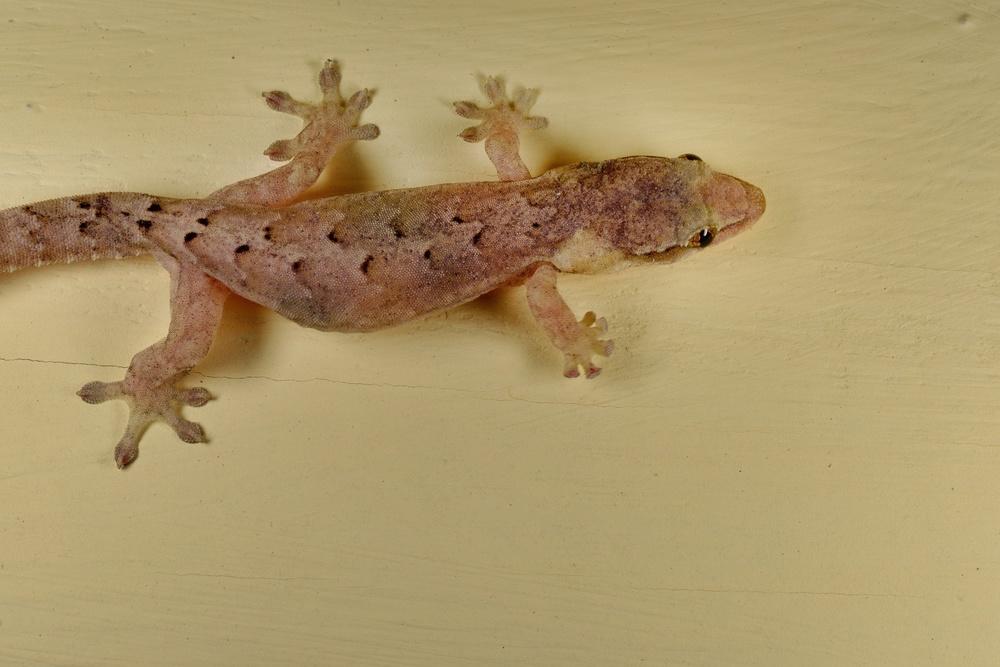 """einer unserer mitbewohner - sein gak gak gak gak lässt moritz sogar aus dem halbschlaf aufwachen - """"Gecko - war das"""""""