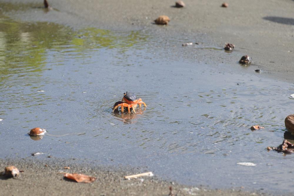 landkrabbe mit eiern unterm bauch flieht vor den wellen - land crab fleeing the sea