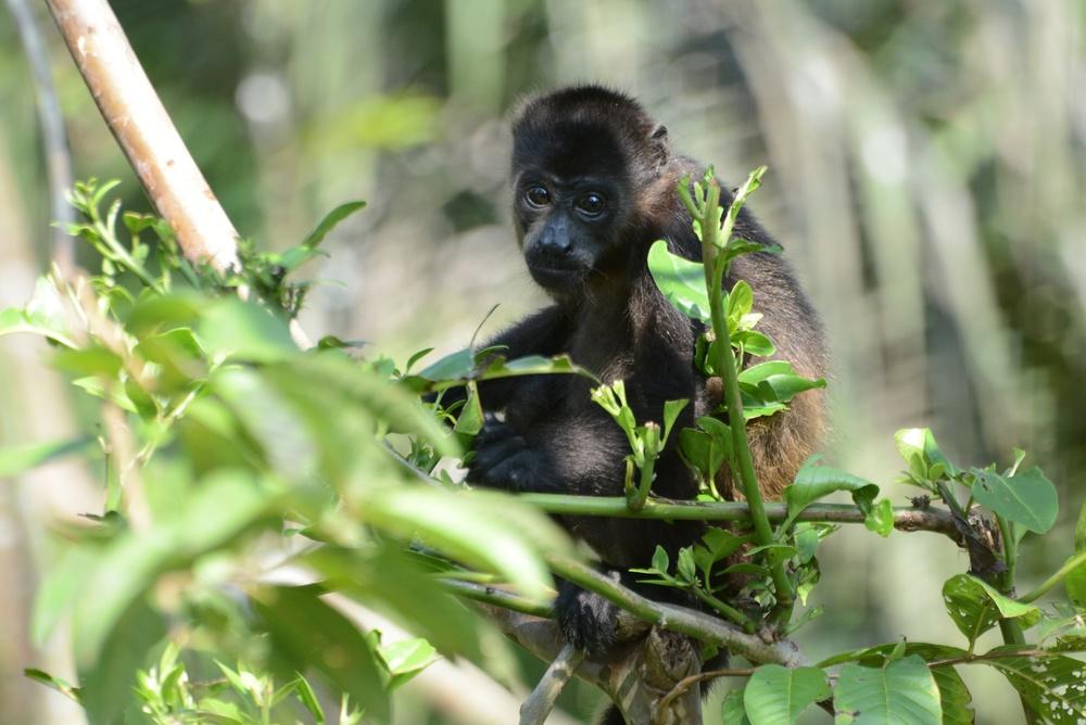 baby howler monkey enjoying himself