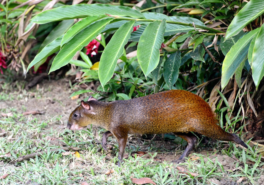 agouti looking for fruit