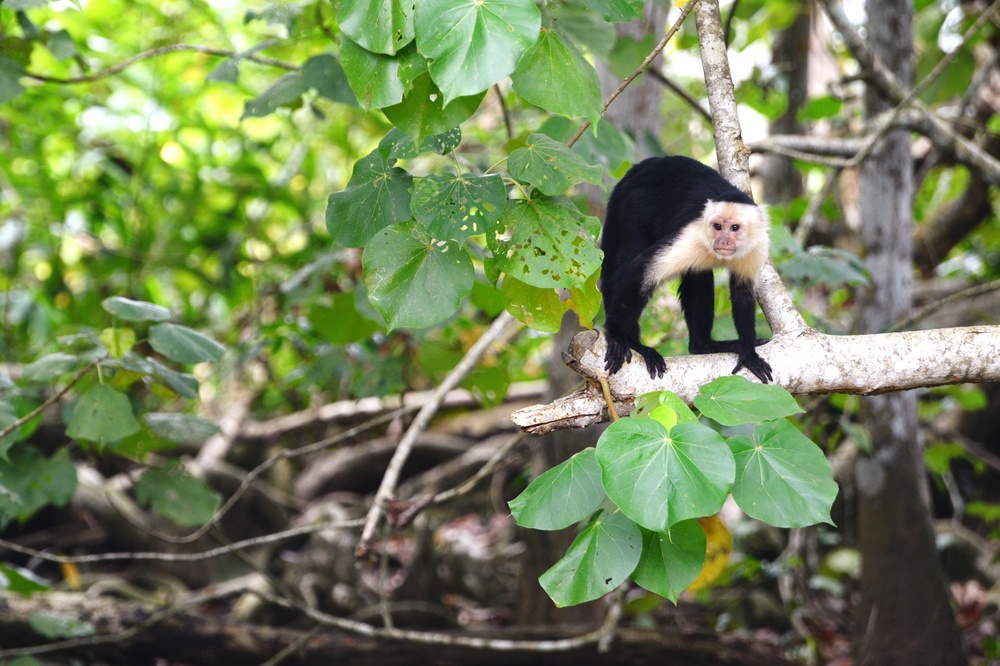 capuchin monkey, just 5 meters away