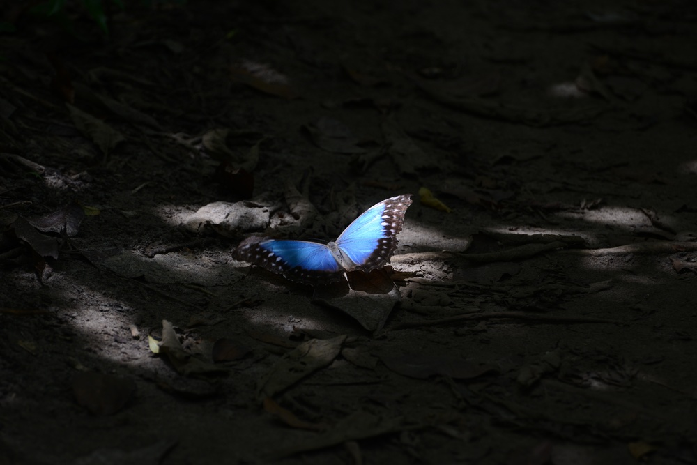 blue morpho captured in the jungle