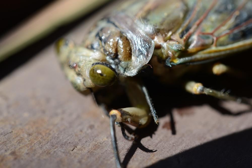 sunset cicada - a noisy beast