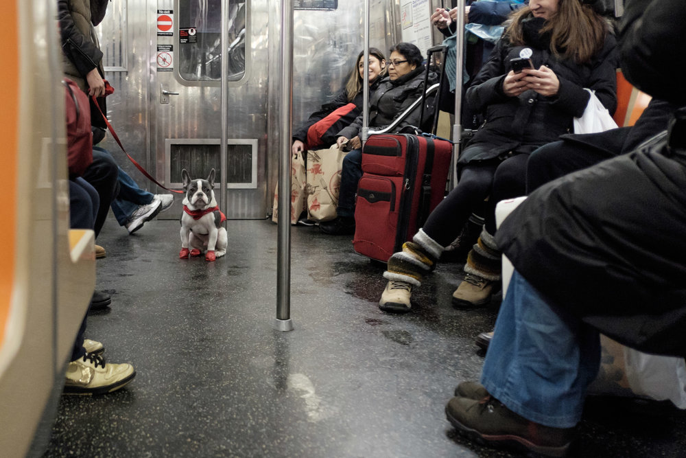 SubwayFrenchie.jpg