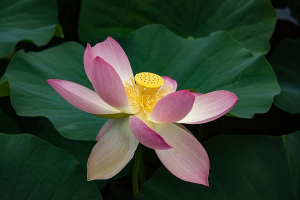 water-lily-3063133_1920.jpg