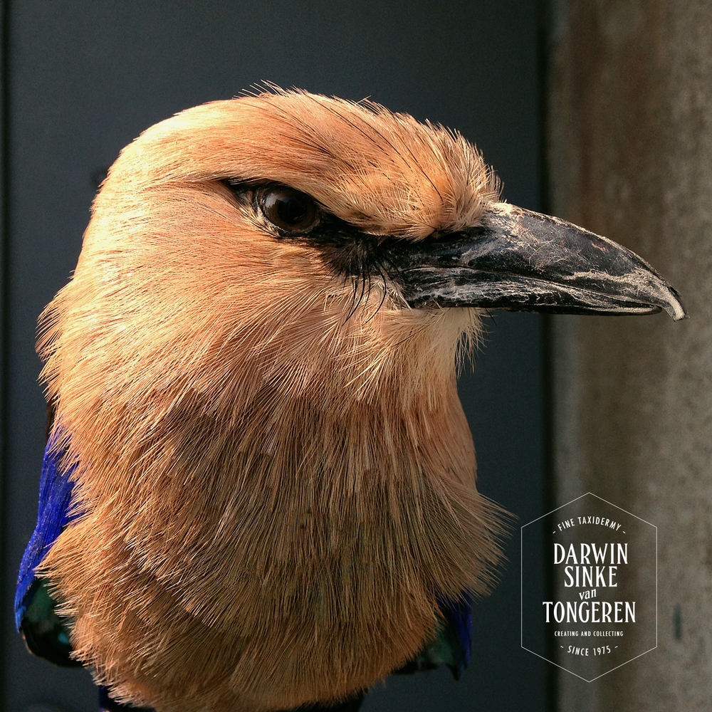 Blue-bellied-Roller_2.jpg