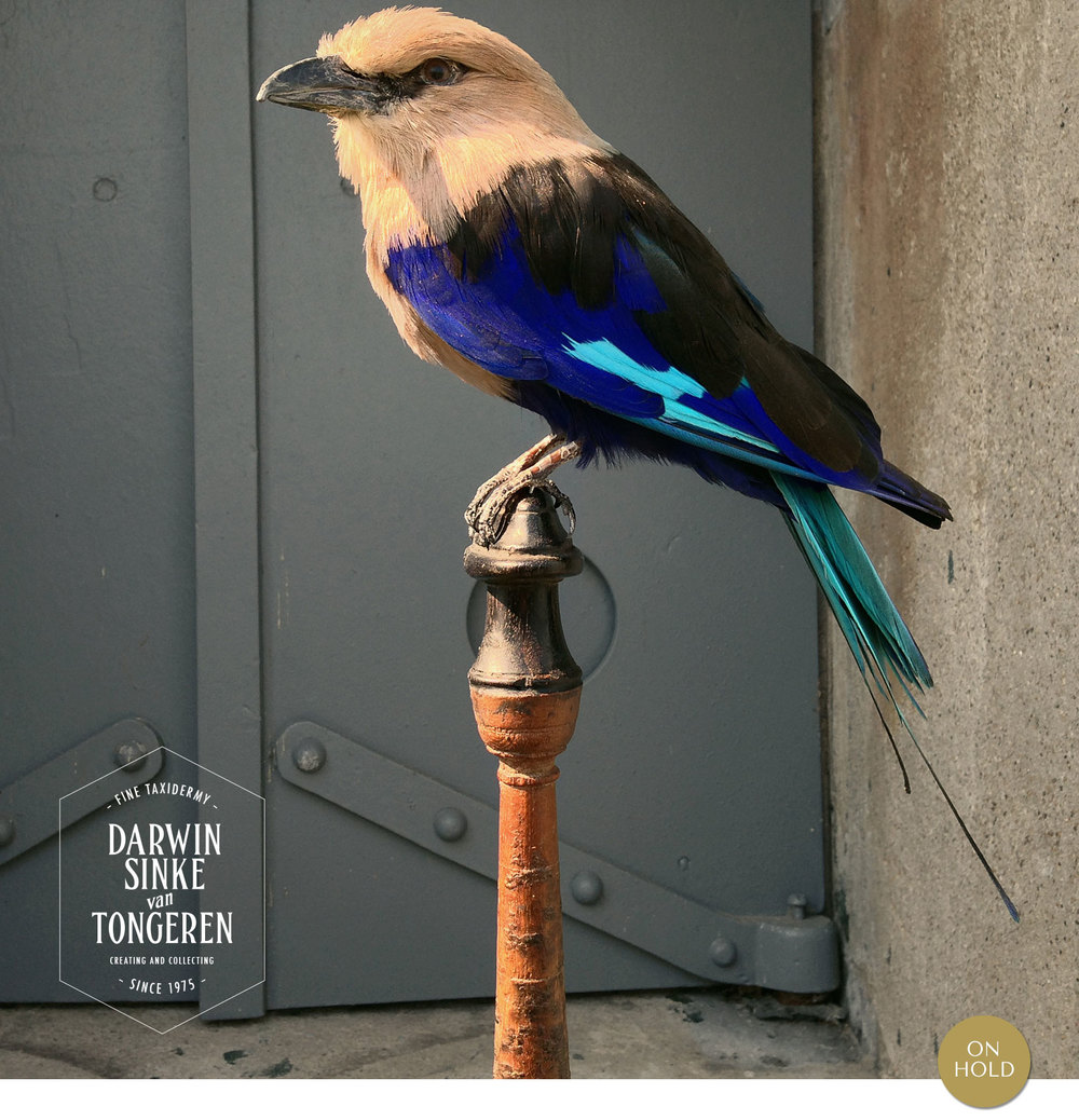 Blue-bellied-Roller_1_On-Hold.jpg