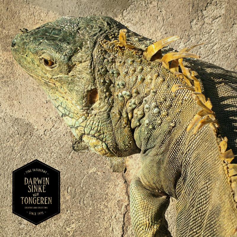 Green-Iguana-DSVT-7b.jpg