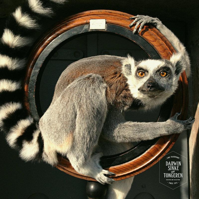 Lemur-Catta-DSVT_2.jpg