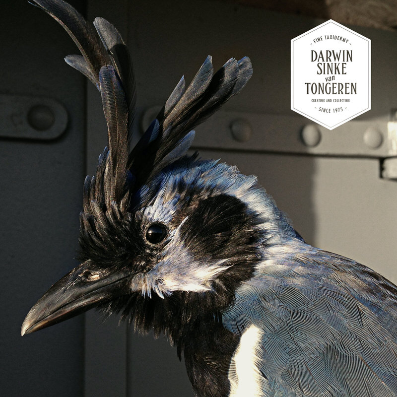 Black-throated-Magpie-Jay-DSVT-3.jpg
