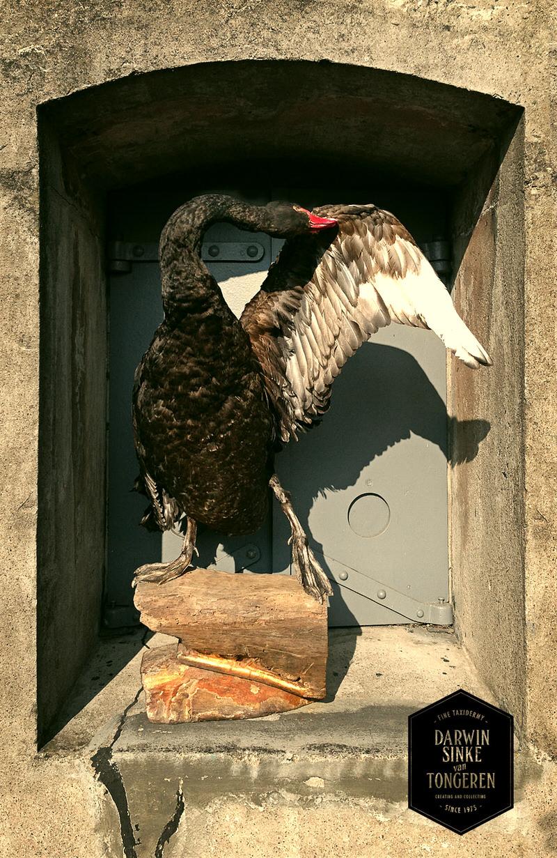 Black-Swan-DSVT-4.jpg