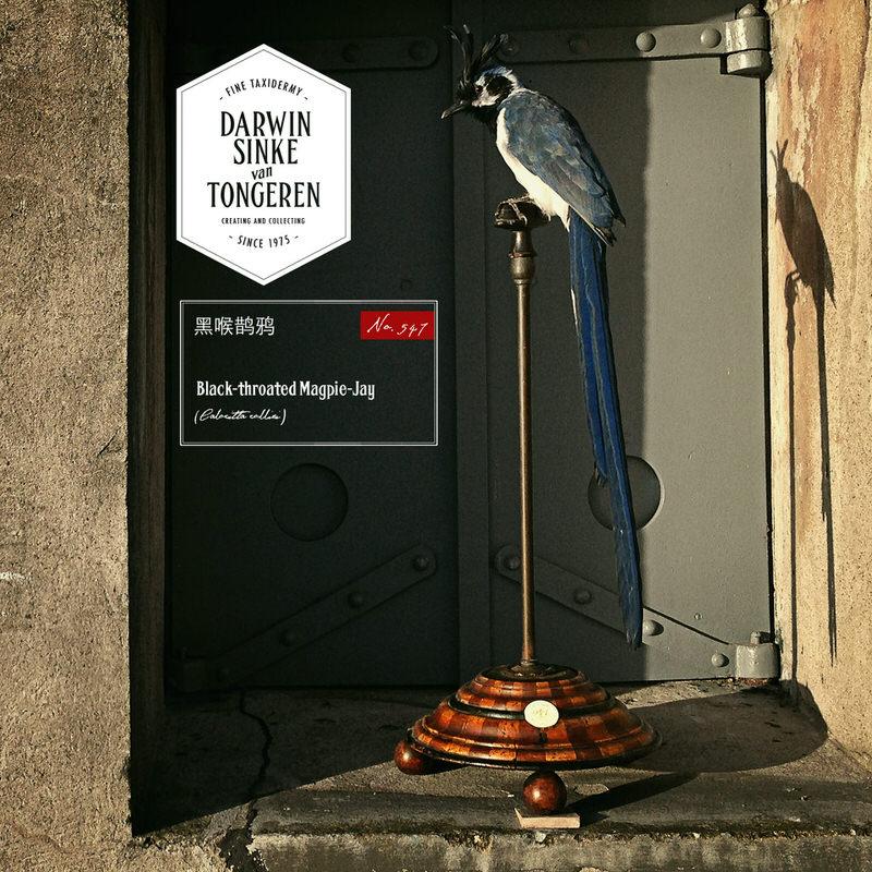Black-throated-Magpie-Jay-DSVT-01b.jpg