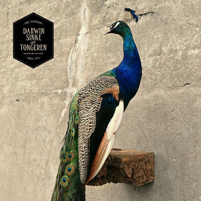 Detail-Peacock-3.jpg
