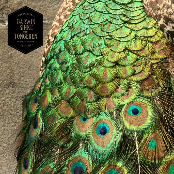 Detail-Peacock-7.jpg