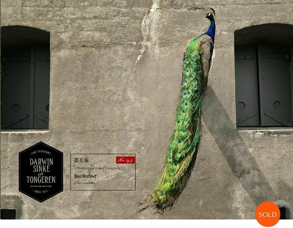 Peacock-Sold.jpg
