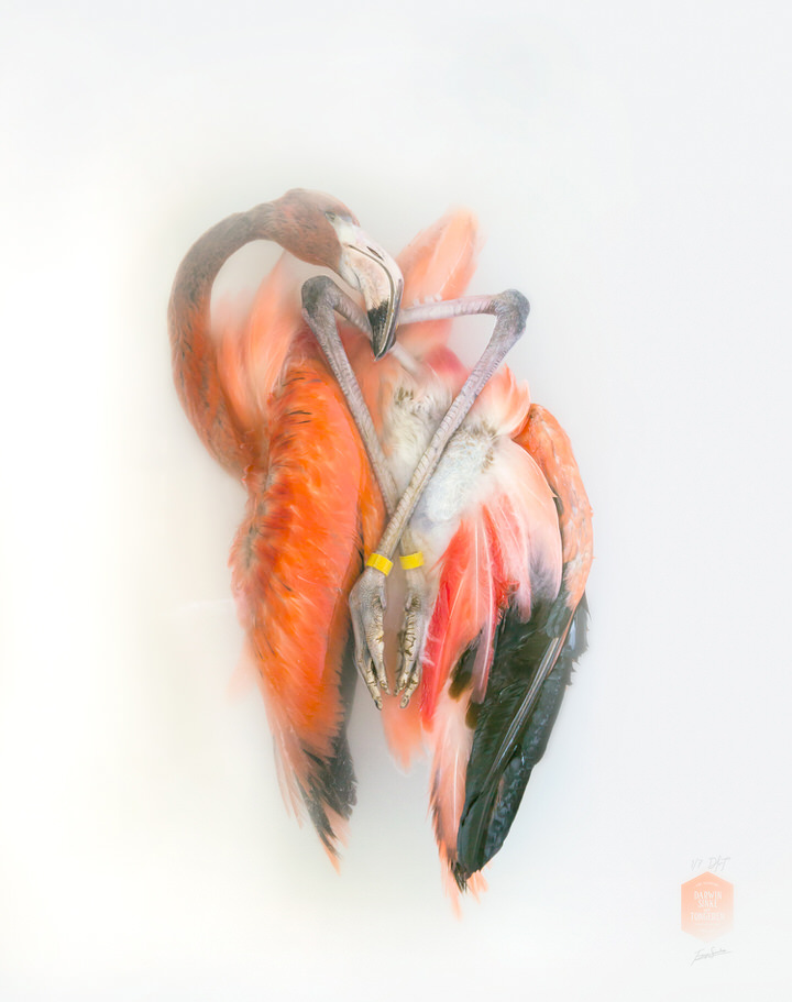 fig_V_Aves-Oxi-Action-Flamingo-II.jpg