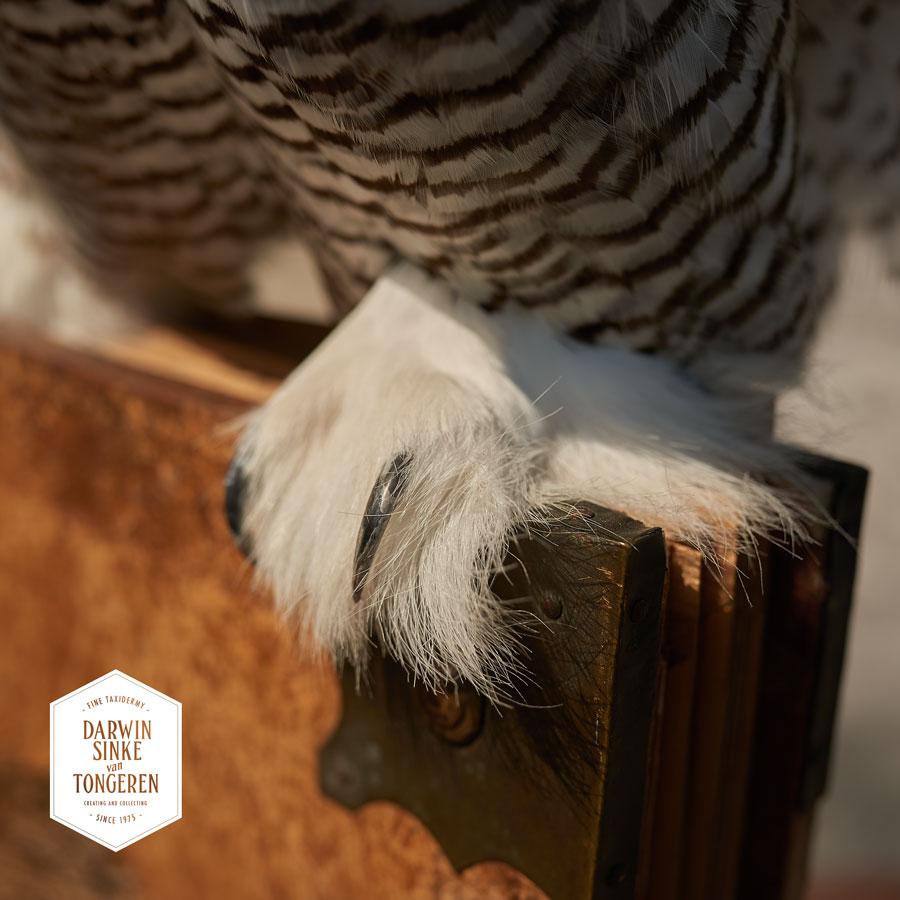 DSvT-Detail-Snowy-Owl-5-LR.jpg