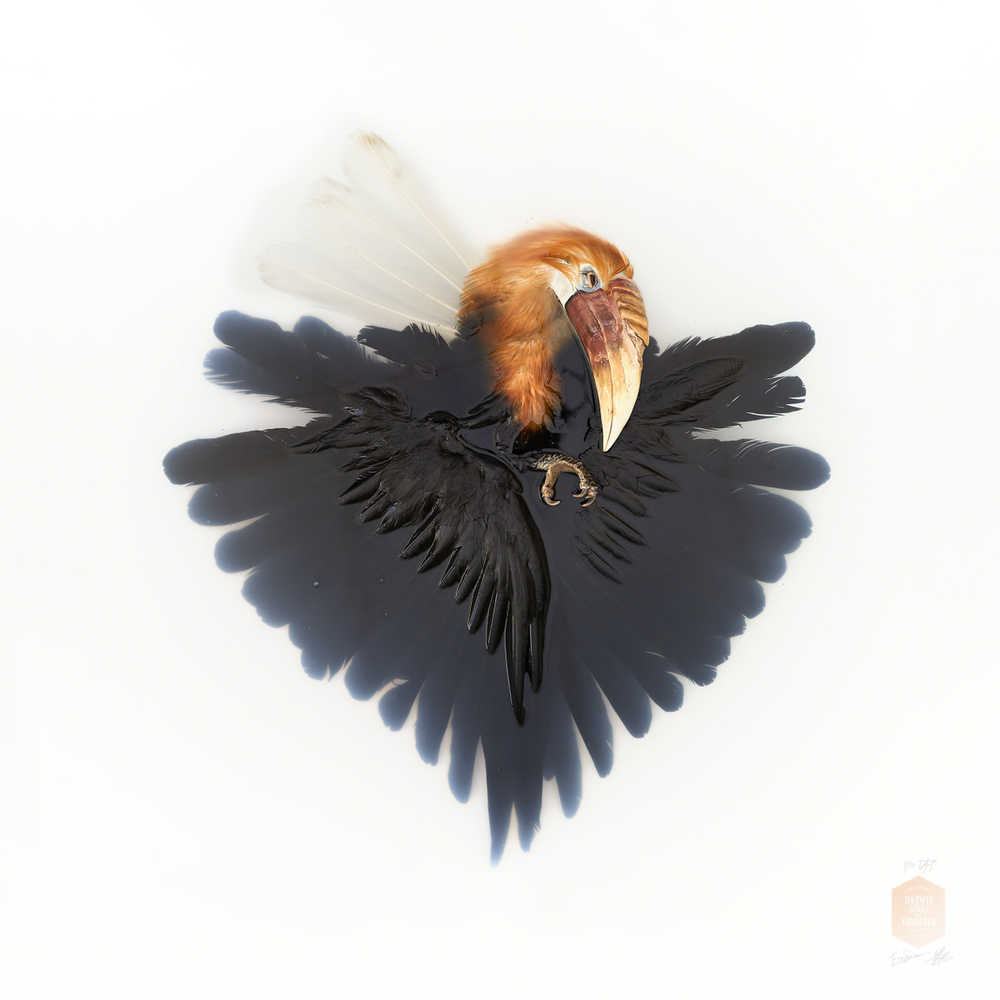 DSvT-Unknown Pose by Wreathed Hornbill 40x40.jpg