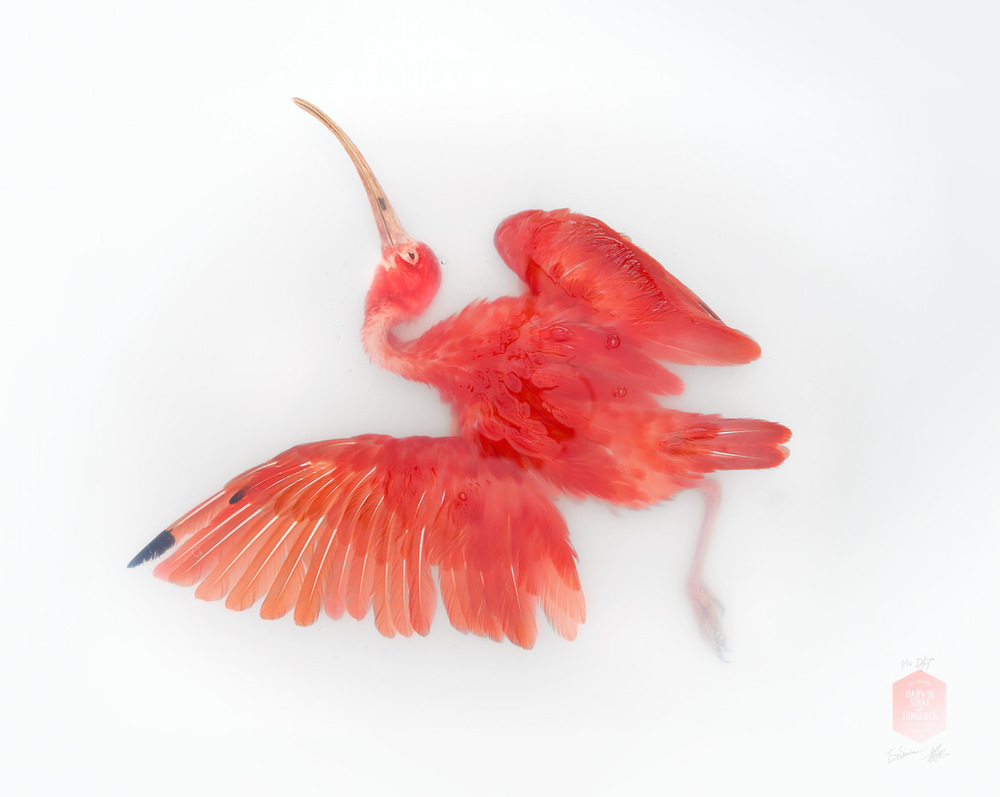 DSvT-Unknown Pose by Scarlet Ibis.jpg