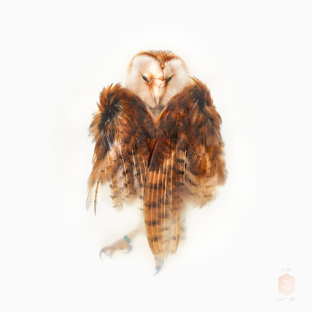 DSvT-Unknown Pose by Barn Owl 40x40.jpg