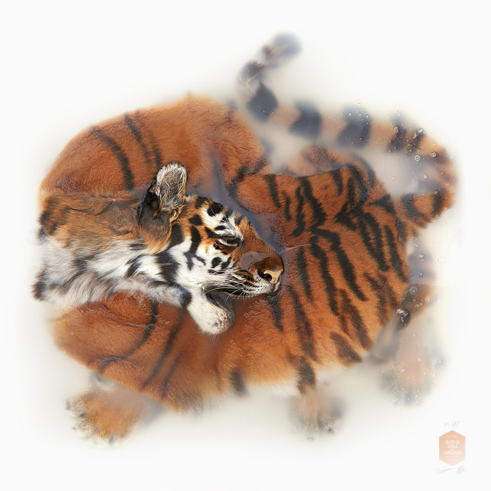 DSvT-Unknown Pose by Amur Tiger.jpg