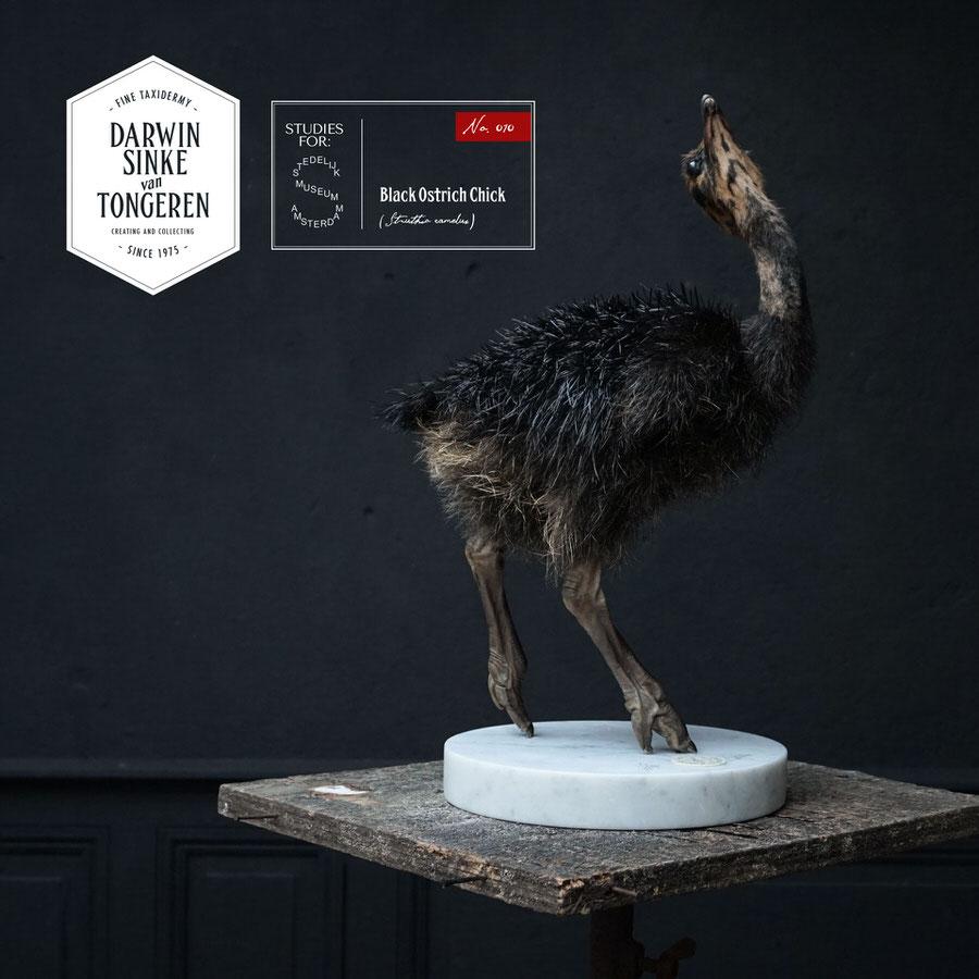 DSvT-Study-Black-Ostrich-01.jpg