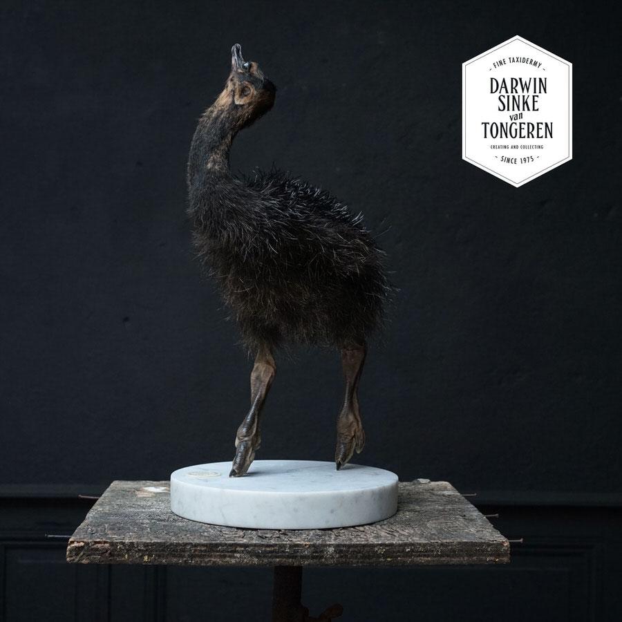 DSvT-Study-Black-Ostrich-03.jpg