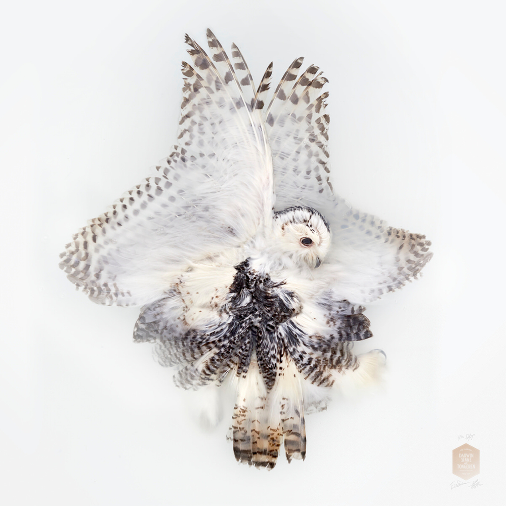 DSvT-Unknown Pose by Snowy Owl.jpg