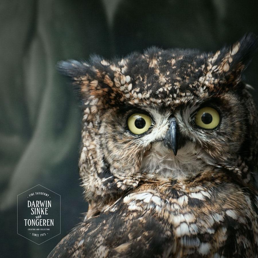DSvT-Spotted-Eagle-Owl-05.jpg
