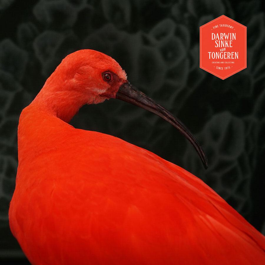 DSvT-Scarlet-Ibis-05.jpg