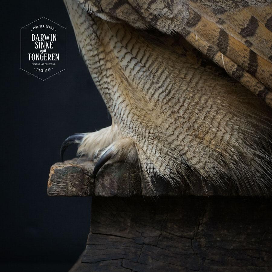 DSvT-Syberian-Eagle-Owl-11.jpg