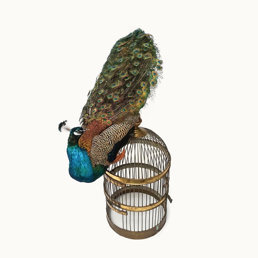 MOA-Peacock.jpg
