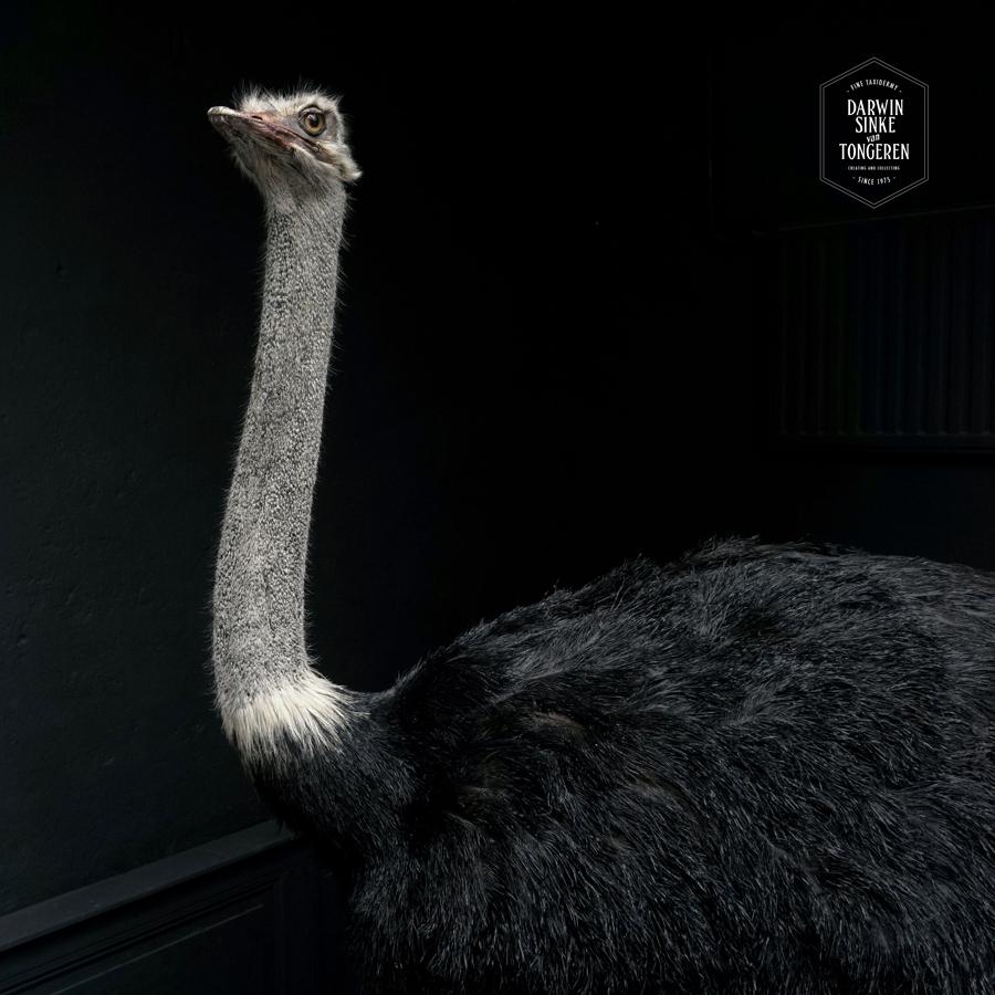DSvT-Ostrich-Commission-09-b.jpg
