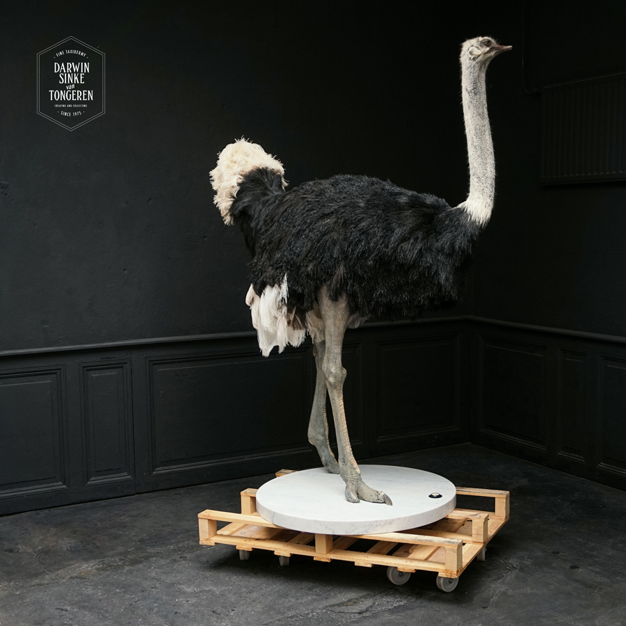 DSvT-Ostrich-Commission-03-b.jpg