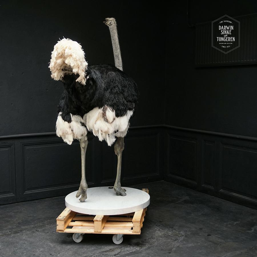 DSvT-Ostrich-Commission-02-b.jpg
