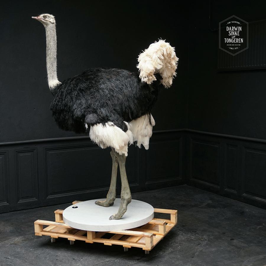 DSvT-Ostrich-Commission-07-b.jpg