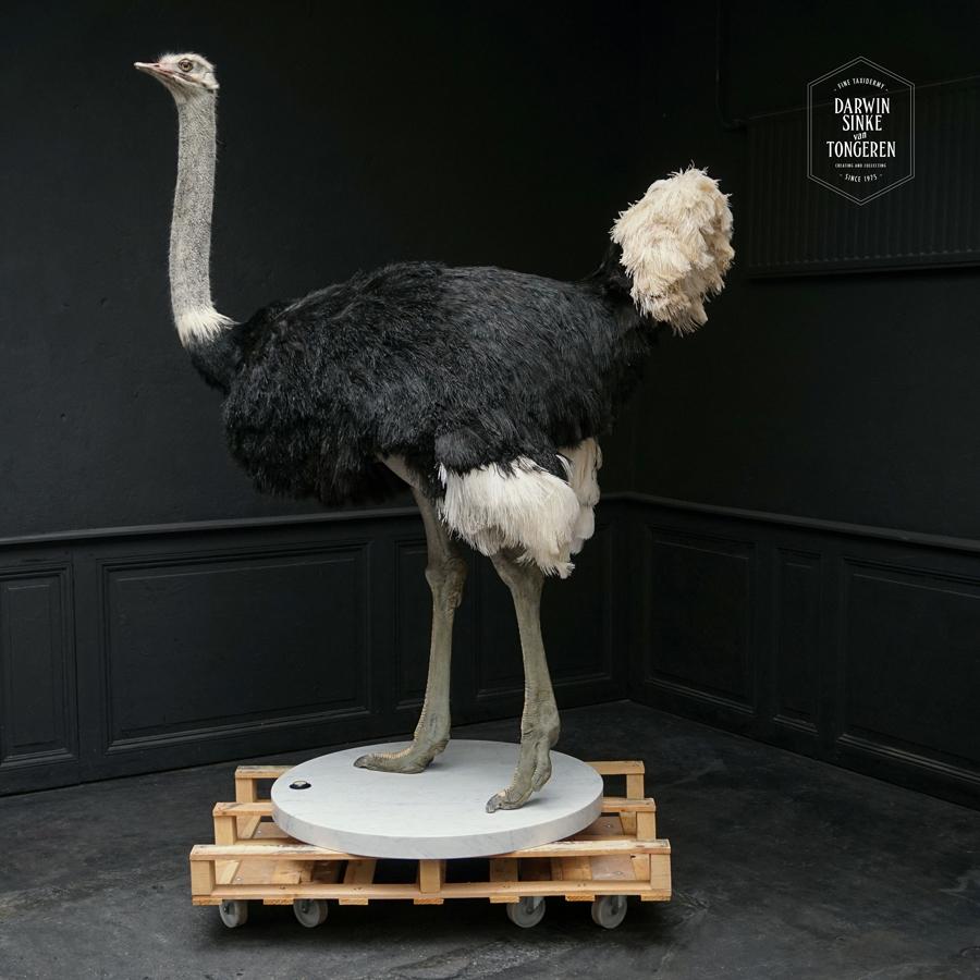 DSvT-Ostrich-Commission-01-b.jpg