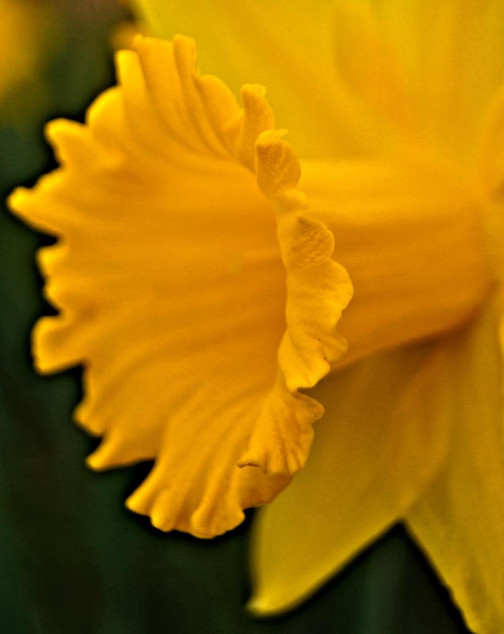 Daffodil: Anita Berghoef