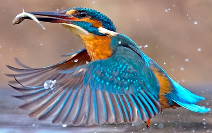 Halcyon   is a genus of the tree kingfishers.