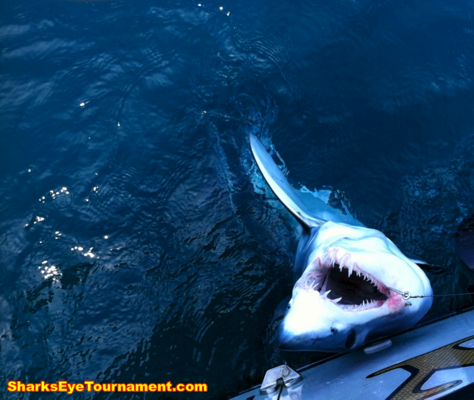 Circle hook and heavy tackle working as advertised with a mako caught and released in the 2013 Shark's Eye Tournament.