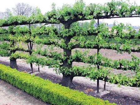 espalier-tree.jpg