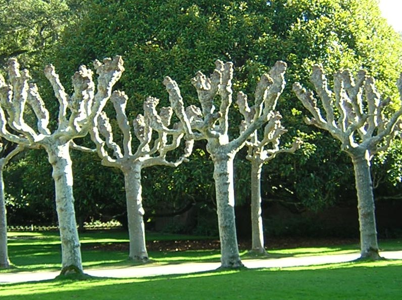 pollarded-sycamores-at-filoli.jpg